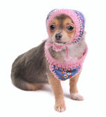 Chihuahua Puppy With Jeans Scarf and Cap Looking At Camera Isolated — Stock Photo