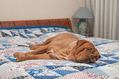 Cute Dogue De Bordeaux puppy lying on the bed with handmade quilt — Stock Photo