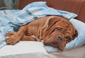 Dogue De Bordeaux Dog Sleeping Sweetly in Owner's Bed — Stock Photo