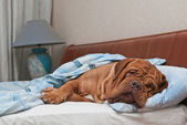 Lovely dog of Dogue De Bordeaux breed is Sleeping in the Bed — Stock Photo