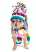 Chihuahua Puppy With Scarf and Hat Looking Aside Isolated on white Backgrou — Stock Photo