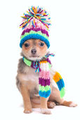 Puppy Dressed For Cold Weather Isolated On White, Chihuahua With Scarf and — Stock Photo
