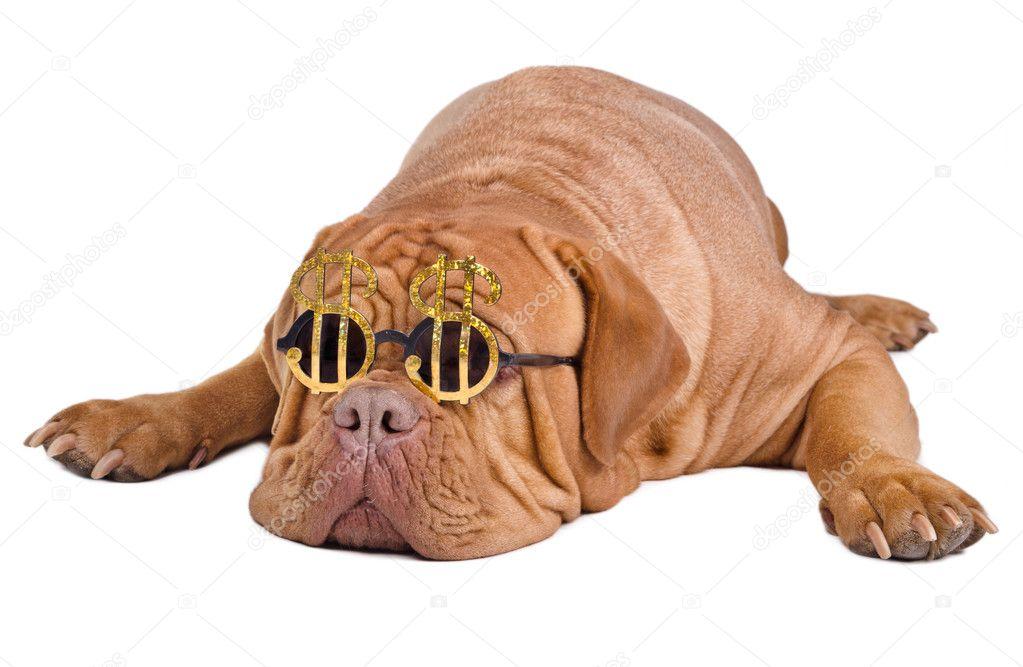 hund mit lustigen brillen mit dollarzeichen stockfoto. Black Bedroom Furniture Sets. Home Design Ideas