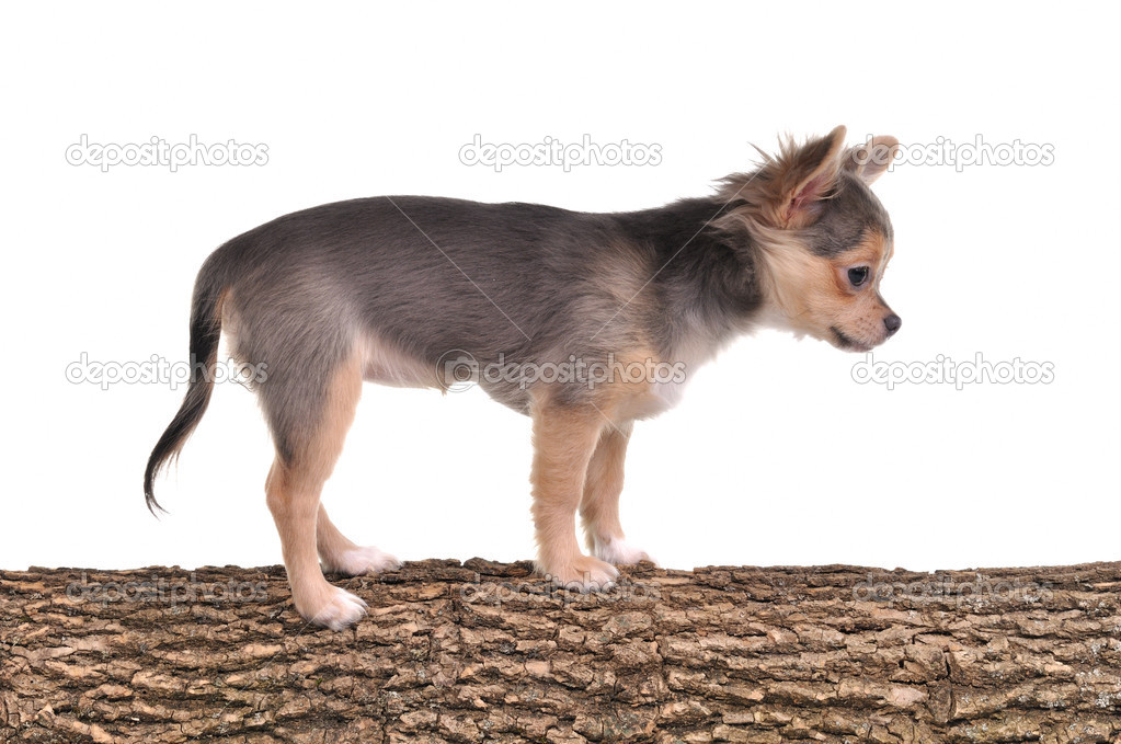 Chihuahua puppy standing on a tree trunk with wooden texture isolated on white background — Stock Photo #8334775