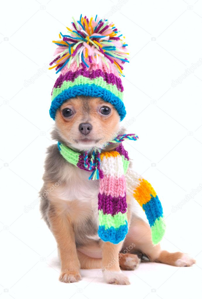 Puppy Dressed For Cold Weather Isolated On White Background. Chihuahua With Scarf and Hat Looking Aside — Photo #8334819