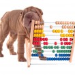 Stock Photo: Shar-pei puppy is learning to count with Abacus