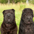 Stock Photo: Two black sharpei dogs sitting in the park