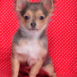 Chihuahupuppy sitting against red and white polka-dot background — Stock Photo #8393273