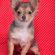 Stock Photo: Chihuahupuppy sitting against red and white polka-dot background