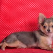 Stock Photo: Chihuahupuppy lying against red and white polka-dot background