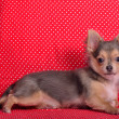 Chihuahupuppy lying against red and white polka-dot background — Stock Photo #8393292