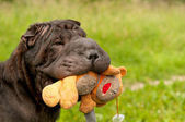 Sharpei dog is playing with teddy bear in the park — Stock Photo