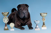 Big Sharpei Dog with awards looking at camera — Stock Photo