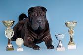 Big Sharpei Dog with awards looking at camera — Stock Photo