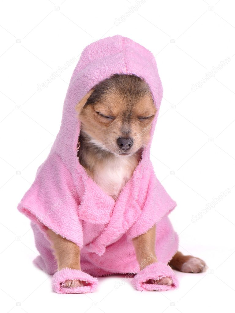 Relaxed chihuahua puppy after the bath dressed with pink bathrobe and slippers against white background — Stock Photo #8393257