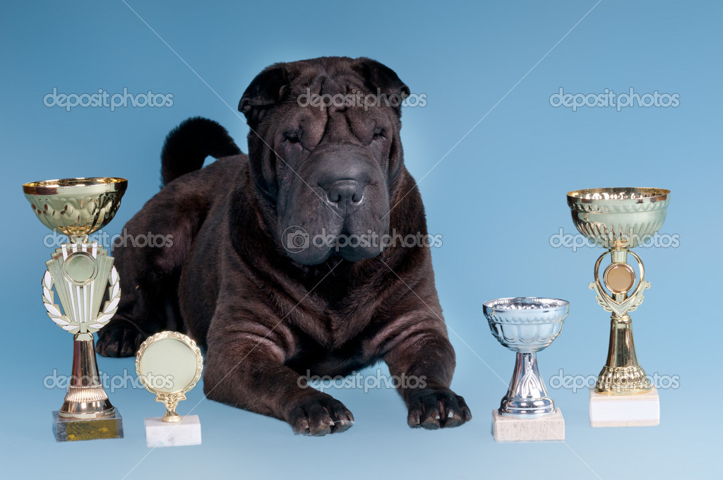 Big Sharpei Dog posing with awards isolated on blue background — Photo #8393304
