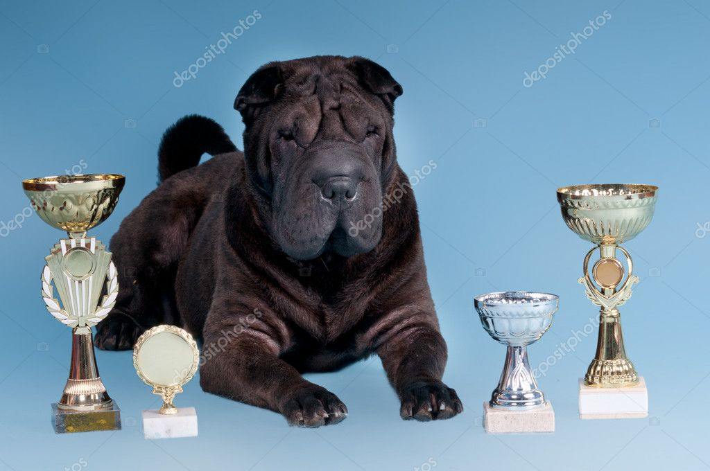 Big Sharpei Dog posing with awards isolated on blue background — Stockfoto #8393304
