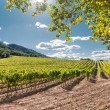 Stock Photo: Vineyard, Spain