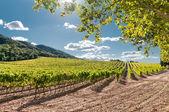 Vineyard, Spain — Stock Photo
