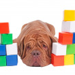 Dogue de bordeaux builder — Foto Stock