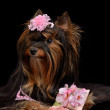 Glamour Yorkie dog with pink items — Stock Photo