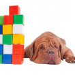 Dog with construction cubes — Foto Stock