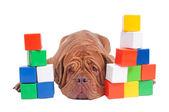 Dogue de bordeaux builder — Stock Photo