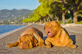 Two dogs lying on a paved alley bear the shore — Stock Photo