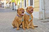 Dogs on the street — Stock Photo