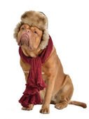 Dog wearing fur cap with ear flaps and a scarf — Stock Photo