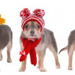 Three chihuahua puppies with scarfs and hats isolated on white background — Stock Photo
