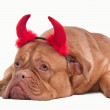 Devil dog of dogue de bordeaux breed with red hornes isolated on white back — Stock Photo #8849076