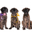 Seven puppies of bullmastiff in front of the white background — Stock Photo #8849090