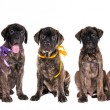 Seven puppies of bullmastiff in front of the white background — Stock Photo