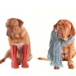Four Dressed Dogs wearing scarfs and boots — Stock Photo