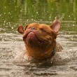 Dog of Dogue De Bordeaux breed dog shaking in forest lake — Stock Photo