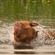 Wet dog of French Mastiff breed having a good shake while swimming — Stock fotografie