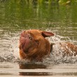 Wet dog of French Mastiff breed having a good shake while swimming — ストック写真