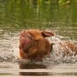 Wet dog of French Mastiff breed having a good shake while swimming — Stock Photo