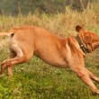 Funny Dogue De Bordeaux running quickly to his master — Stock Photo