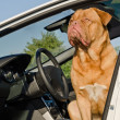 Dog driver sitting in the car — Stock Photo
