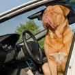 Stock Photo: Dog driver sitting in the car