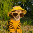 Royalty-Free Stock Photo: Chihuahua dressed with suit, straw hat nad glasses in the garden