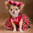 Chihuahupuppy wearing red chequered dress and cap — Stock Photo #8849755
