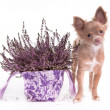 Chihuahua puppy and lavender flower — Stock Photo