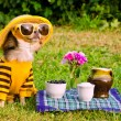 Chihuahua dog picnic in the garden — Stockfoto