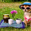 Tiny dog wearing yellow suit, straw hat and glasses relaxing in meadow — Stock Photo #8849939