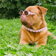 Dog of Dogue De Bordeaux breed wearing pink glasses and collar in summer ga - Stock Photo