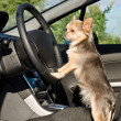 Постер, плакат: Chihuahua driver with paws on steering wheel