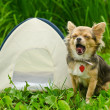 Stock Photo: Yawning chihuahua dog sitting near camping tent